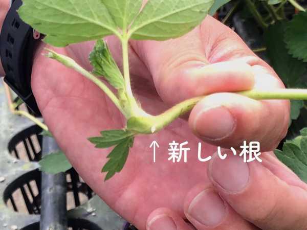トミベリーのいちごの芽
